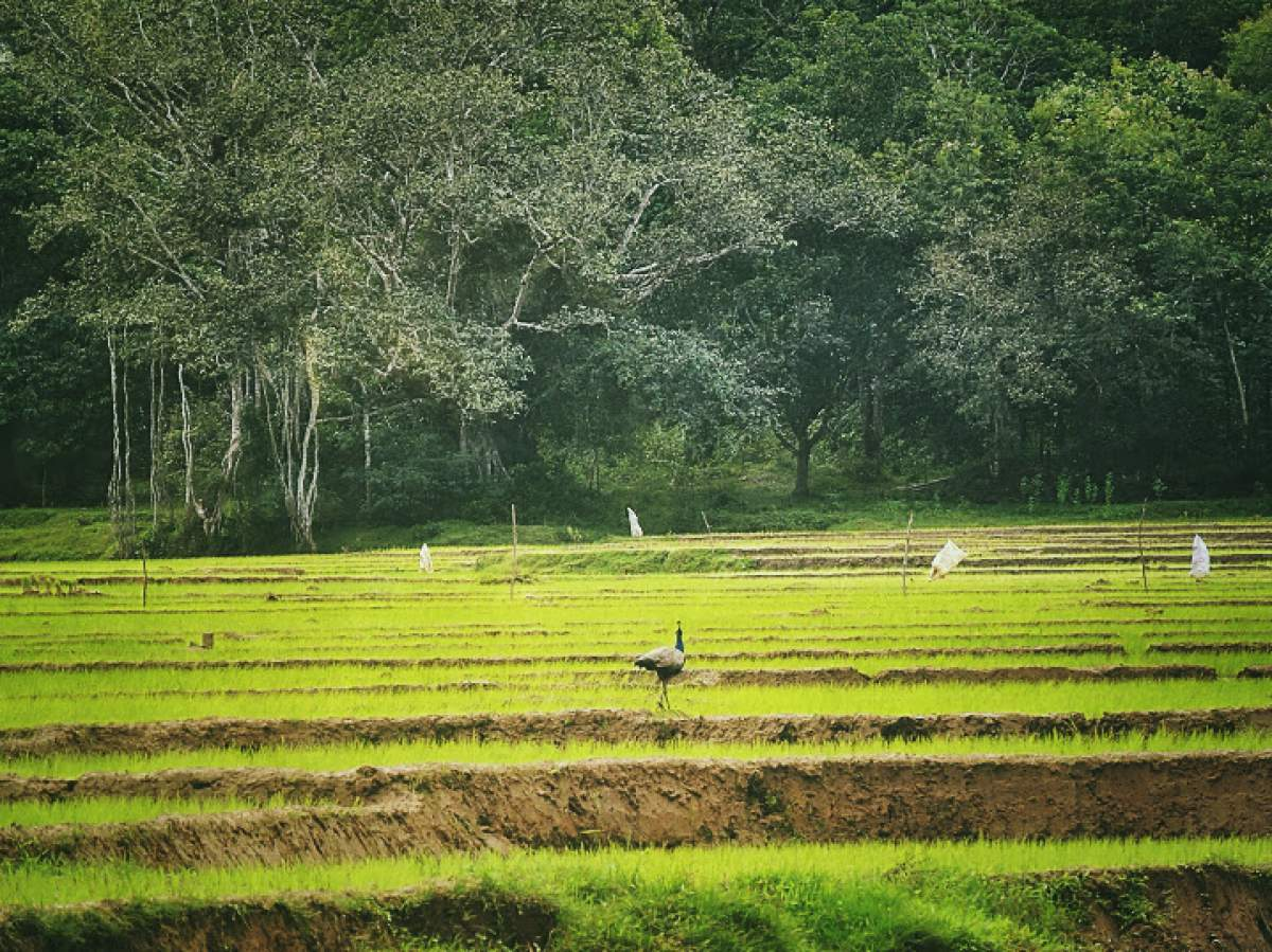 Dandeli Paddy Fields