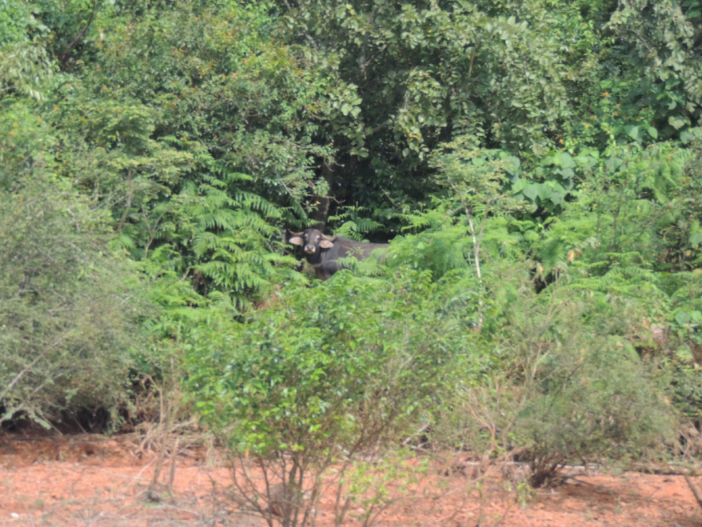 Indian Gaur at Banasura Sagar Dam
