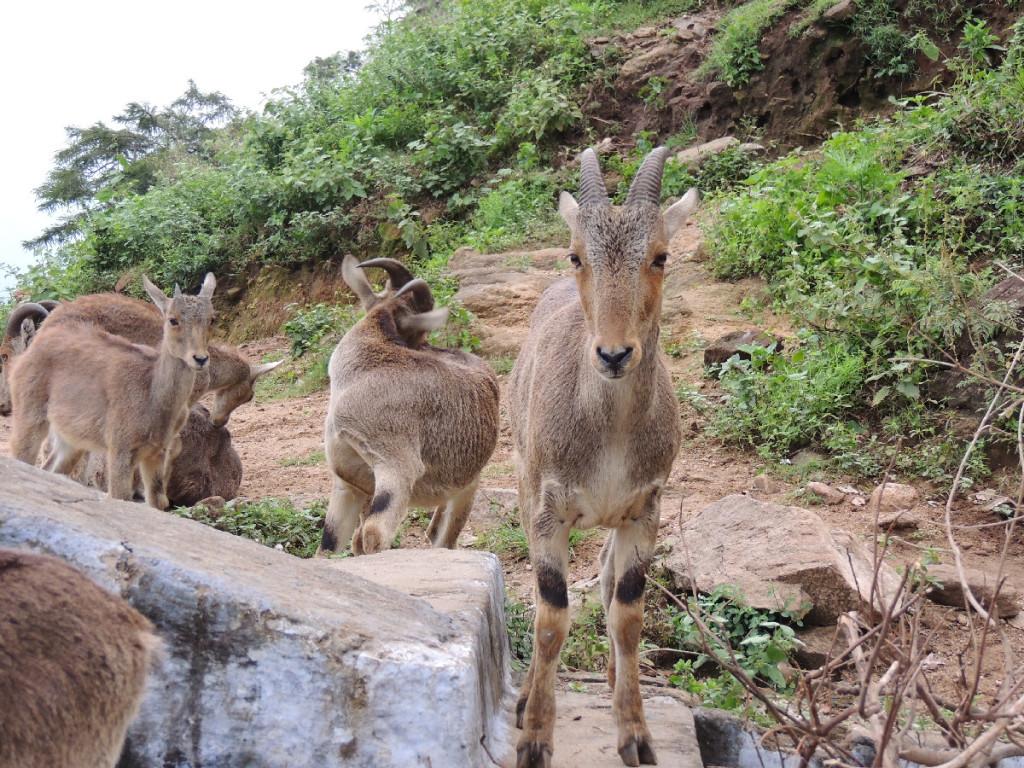 Nilgiri Tahr or Ibex