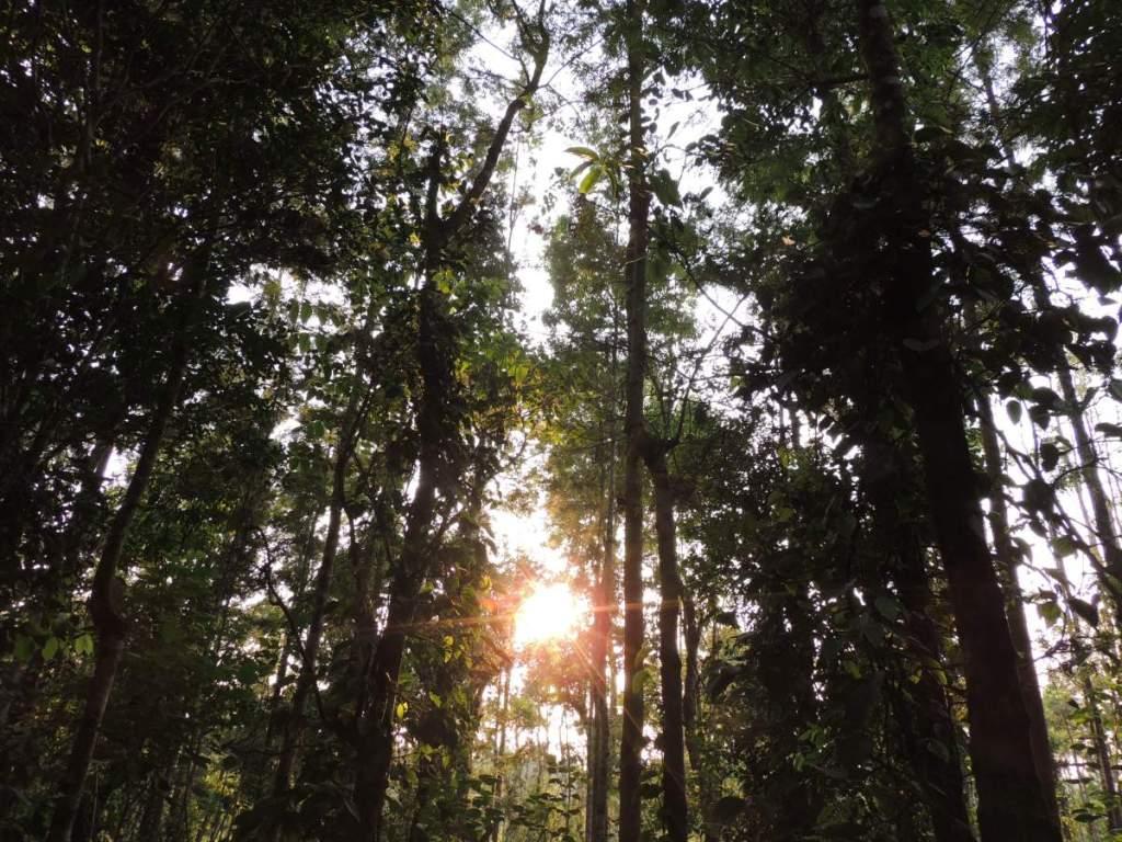 Silver Oak Trees