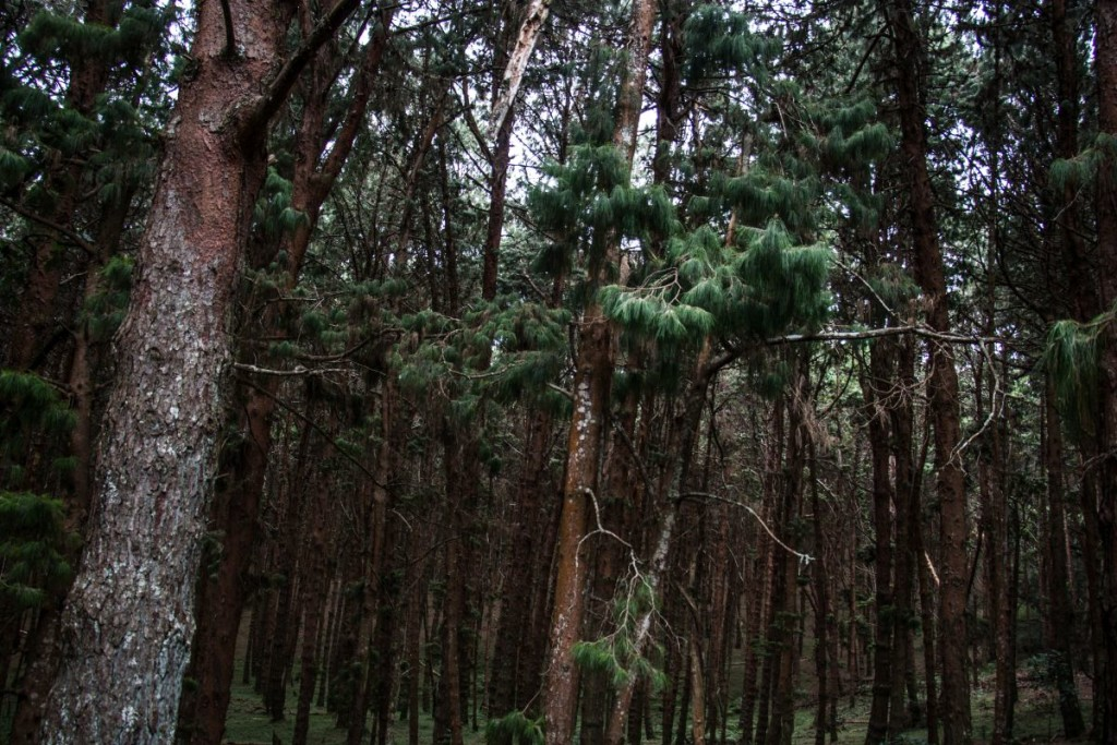 Kodai Pine Forests