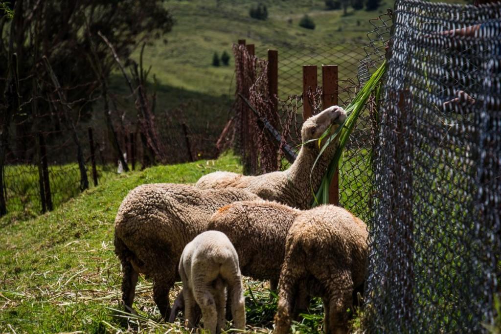 Kodaikanal Sheep Farm