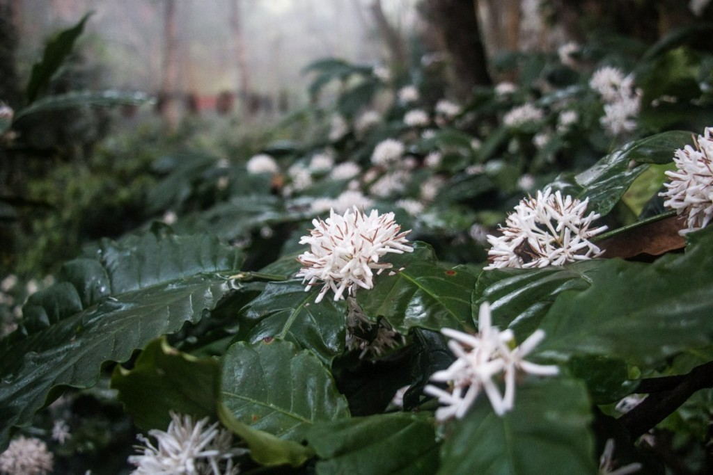 Coffee Blossoms in Coorg