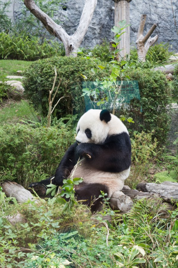 The Giant Pandas of Macau