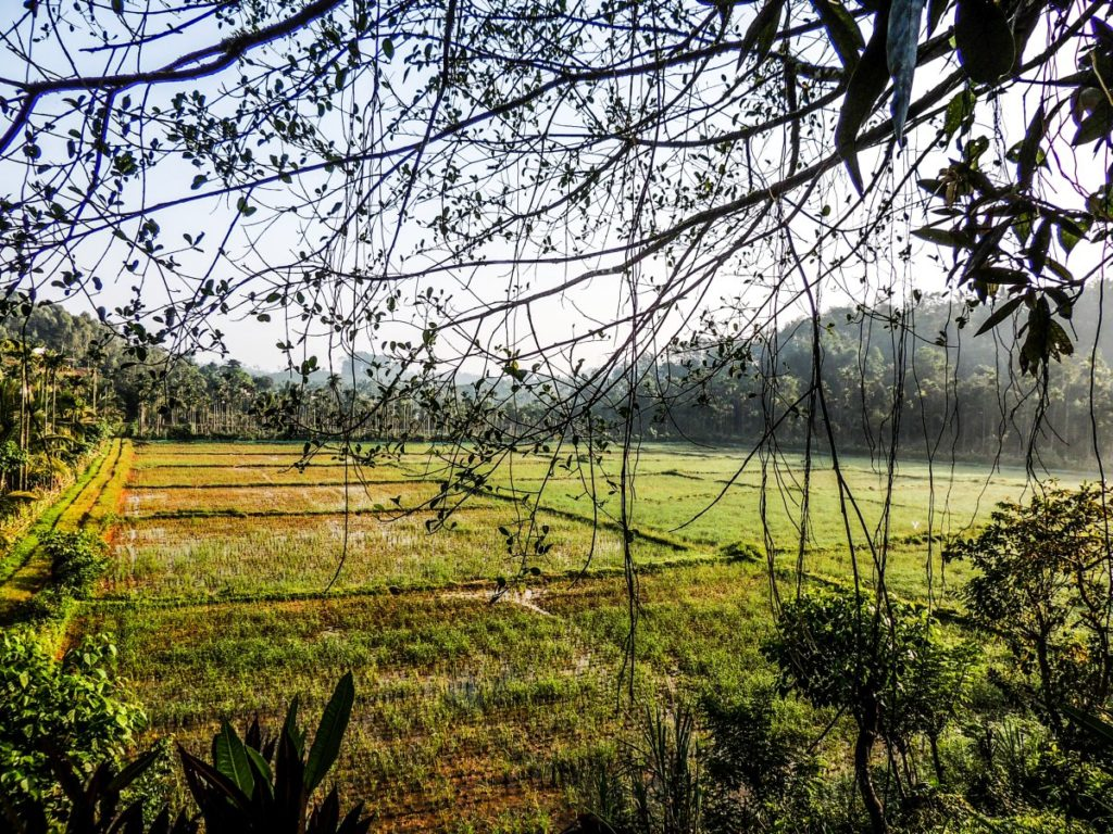 Lush green paddy fields in Wayanad
