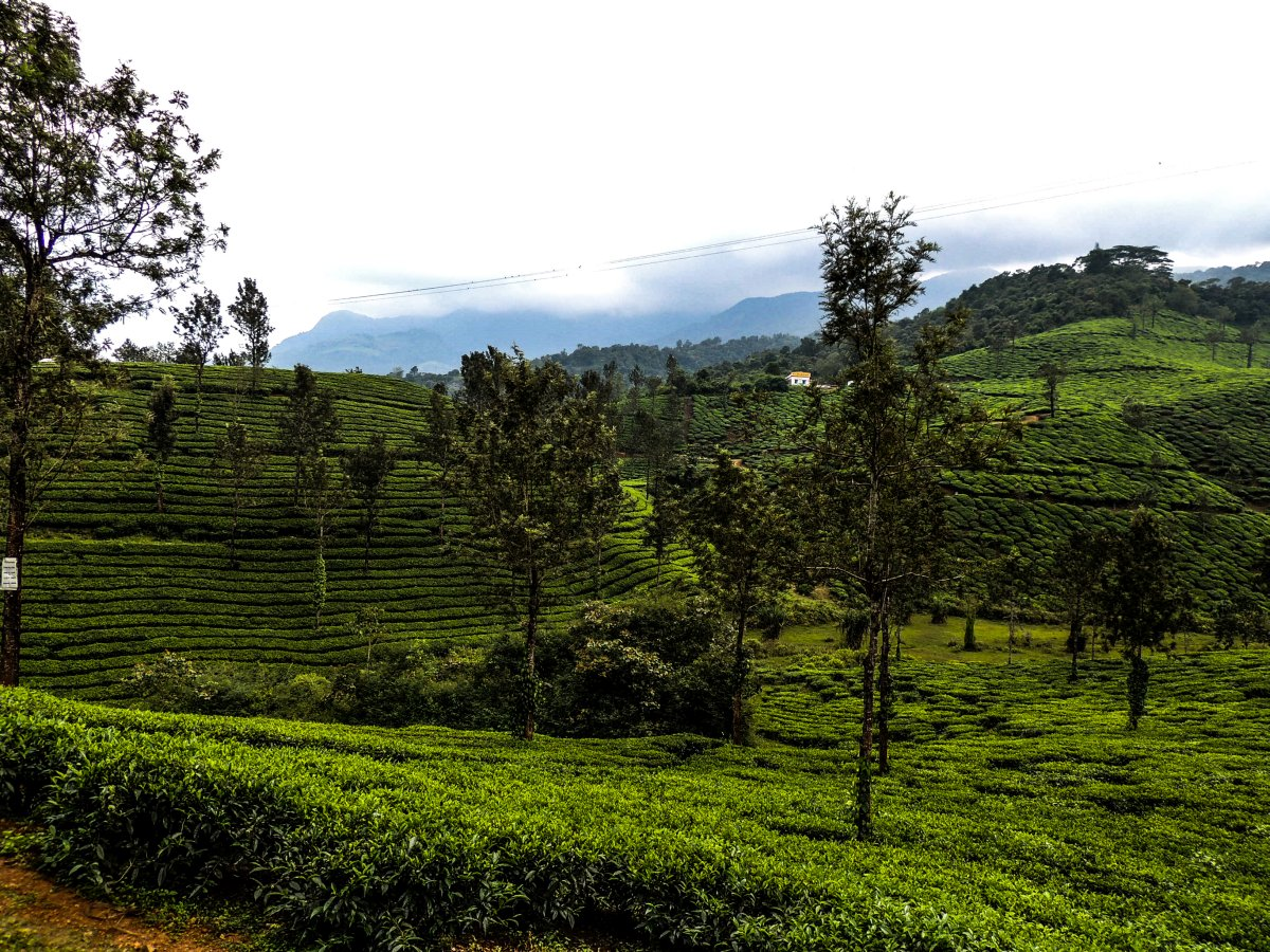 Verdant Tea Gardens a treat to the eyes