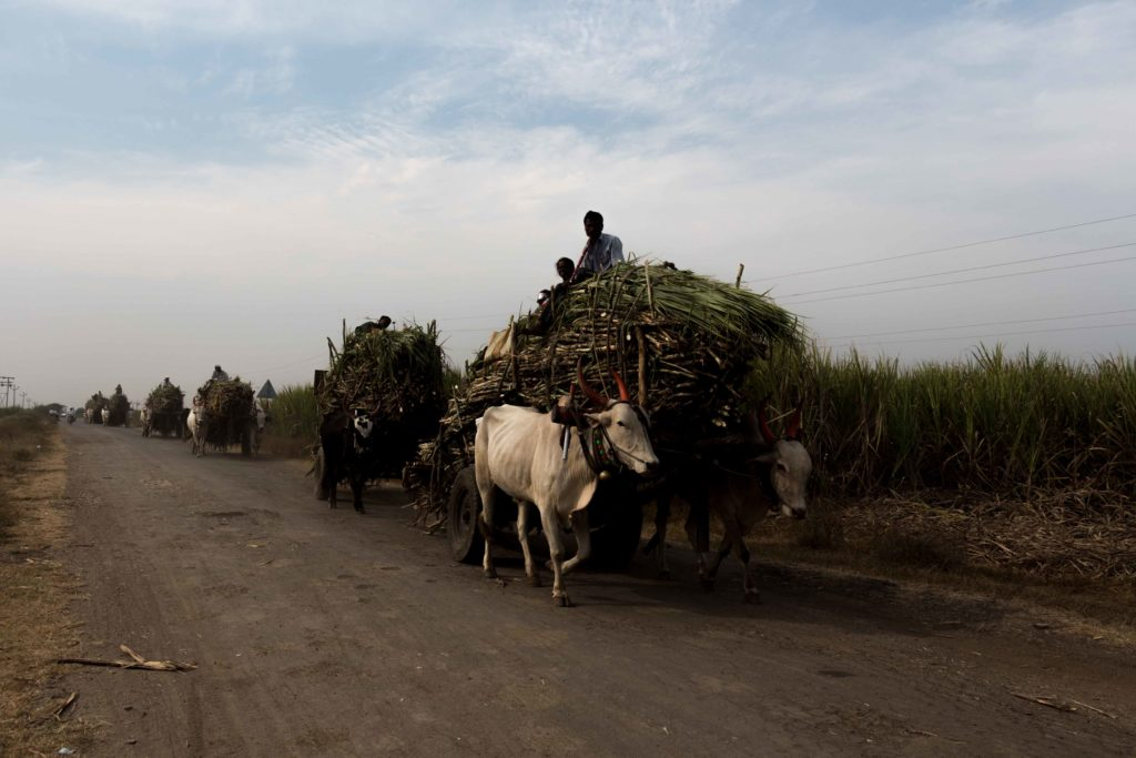 Harvested sugarcanes loaded onto bullock carts